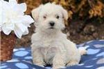 Picture of Sarge - Westiepoo Male