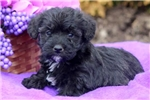 Picture of Sparkle - Westiepoo Female