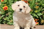 Picture of Mitch - Westiepoo Male