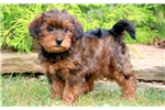 Picture of Special - Yorkiepoo Female