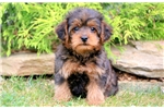 Picture of Stewie - Yorkiepoo Male