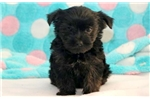 Picture of Dixie - Yorkiepoo Female