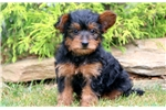Picture of Sonny - Yorkiepoo Male