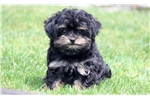 Picture of Muffin - Yorkiepoo Female