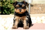 Picture of Cici - Yorkie Female