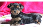 Picture of Zoey - Yorkie Mix Female