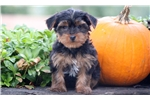 Picture of Archie - Yorkie Male