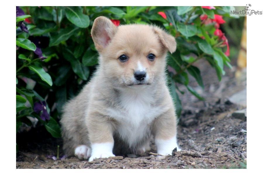 Meet Mickey a cute Welsh Corgi, Pembroke puppy for sale ...