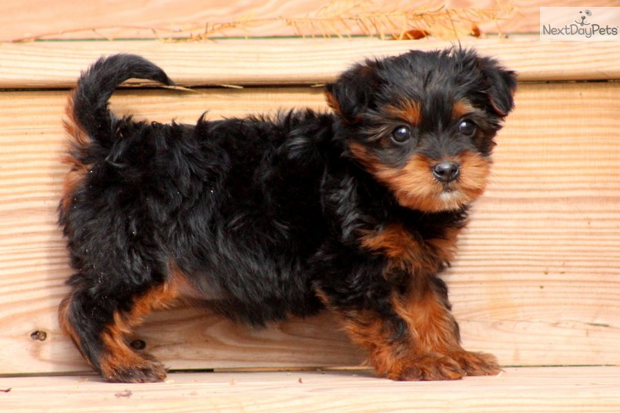 Female Yorkie Poo For Sale Sold The Yorkie Poo | Dog Breeds Picture