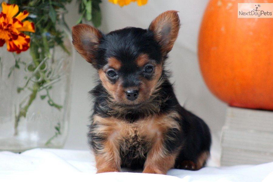 yorkiepoo yorkie poo puppy for 900 x 600 70 kb jpeg courtesy of ...