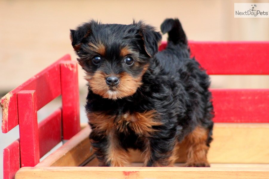 Yorkipoo Pictures Pictures to pin on Pinterest