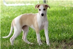 Picture of GRETL-AKC-BEAUTIFUL GIRL