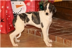 Picture of SPARTUS-AKC-GREAT COMPANION