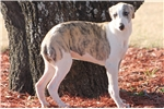 Picture of ALLIE-AKC REGISTERED-LOVEABLE GIRL