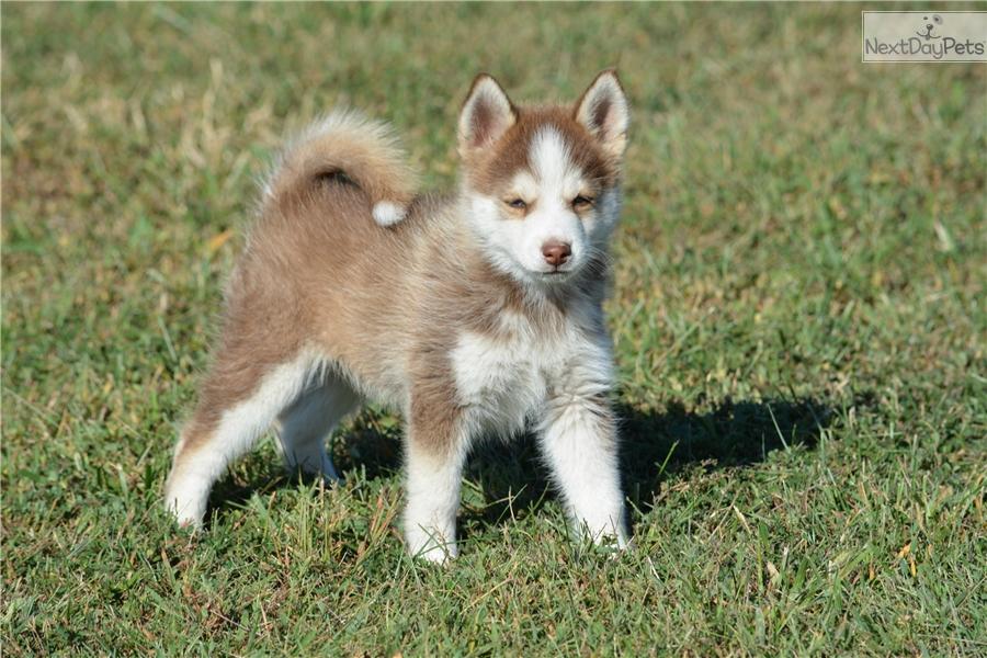 Pomsky puppy for sale near southeast ks kansas 38ac688d b131