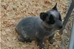 Australian Cattle Dog Blue Heelers for sale