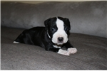 Picture of AKC Beautiful female puppy