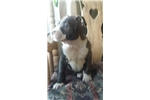 Picture of AKC pick of litter female puppy