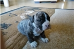 Picture of akc CHAMPION BRED MALE PUPPY