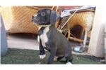 Picture of AKC Nice male puppy