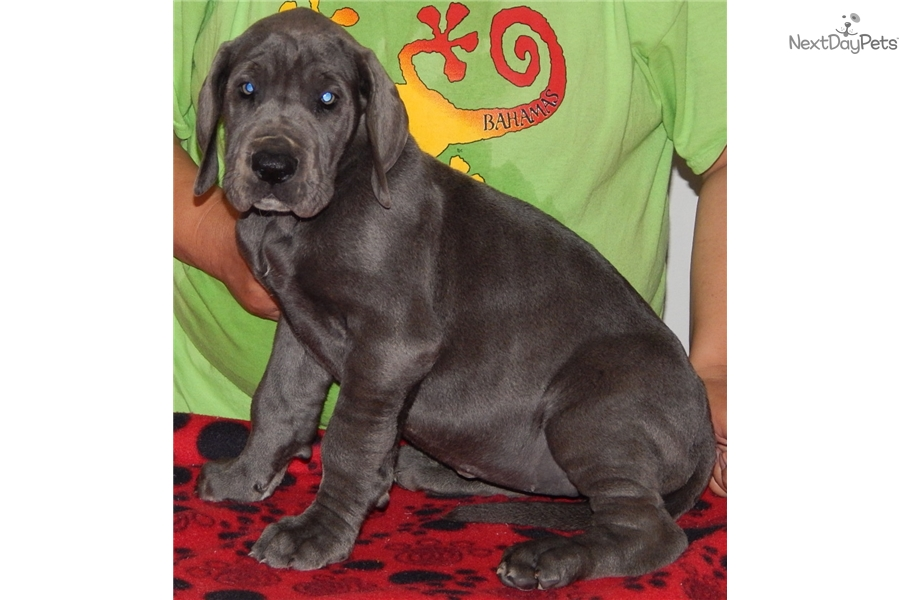 Great Dane Puppies For Sale Indiana