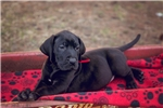 Picture of AKC Euro Great Dane Puppy Jacob