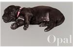 Picture of AKC Euro Black Opal