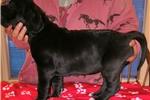 Picture of AKC Euro Great Dane Puppy Minerva