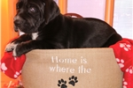 Picture of AKC Euro Great Dane Puppy Hermione