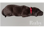 Picture of AKC Euro Black Ruby