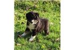 Miniature Australian Shepherds for sale