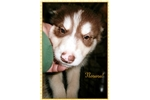 Picture of Nenana!  Giant Mal! AKC