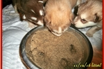 Picture of AKC Red Alaskan Malamute Puppies!