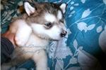 Alaskan Malamute for sale