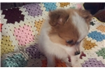 Picture of Gorgeous Pomeranian/Papillon Puppy