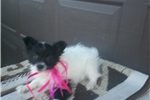 Picture of Adorable Papillon Puppies