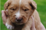 Picture of a Nova Scotia Duck Tolling Retriever Puppy