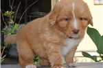 Nova Scotia Duck Tolling Retriever for sale