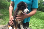 Picture of Casey AKC