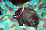 SHEBA AKC | Puppy at 3 weeks of age for sale