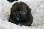 Picture of a Chi-Poo - Chipoo Puppy