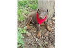 American Pit Bull Terrier for sale