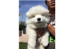 Picture of AKC Male Samoyed puppy!! Champion parents OFA/CERF