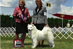 Picture of AKC Male Samoyed puppy!! Champion Sire! OFA/CERF