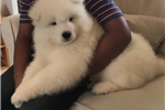Picture of AKC Male Samoyed puppy!! Champion Sire!! OFA/CERF