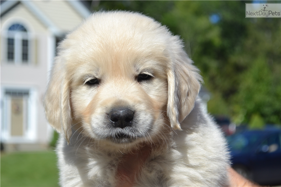 Golden Retriever Breeders In Ma English Golden Retriev...