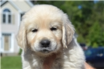 Picture of AKC Male/Female Puppies Available