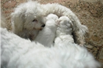 Picture of Healthy home raised tiny/ medium bichon frise pup