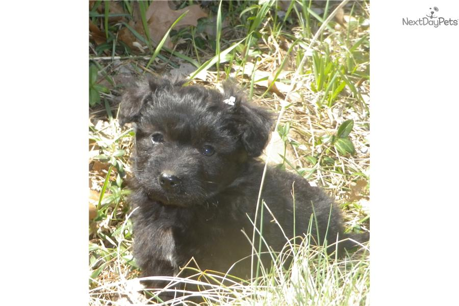 Meet Toby a cute Schnoodle puppy for sale for $350. Toby