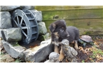 Picture of Ally girl  Akc